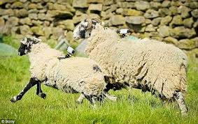 Counting on Sheep for More Than Sleep:  Herds Become Wi-Fi Hotspots