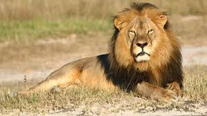 The Lion is Reaching Extinction