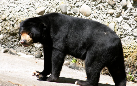 The Sun Bear is Becoming Endangered