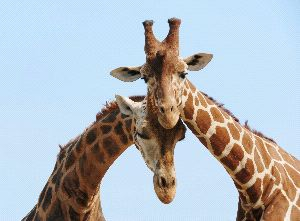 Scientists Find Four Species of Giraffes