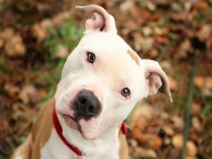 Pit Bulls Banned in Montreal?