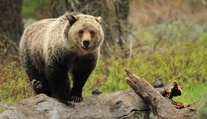 Yellowstone Grizzlies Might Come Off Endangered Species List