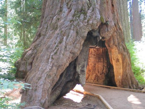 1,000 Year-Old Tunnel Tree Falls by Storm