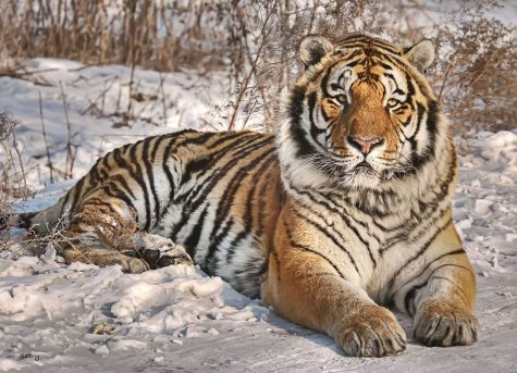 Scientists Have Found Evidence That Tigers May Roam Central Asia Again