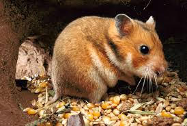Corn-Based Diet Turns Hamsters into Cannibals