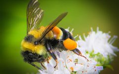 Rusty Patched Bumblebee Now an Endangered Species