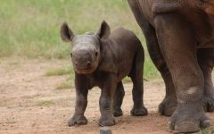 Endangered Black Rhino Is Born in the Australian Zoo