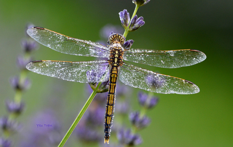 Female DragonFlies Fake Death To Get Away From Males