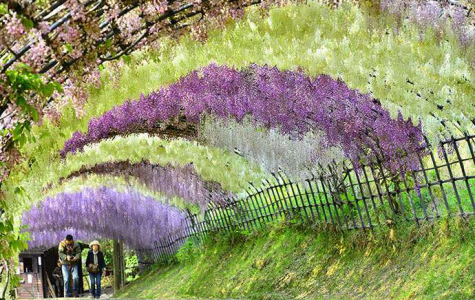 Wisteria Flower Tunnel in Japan Attracts Visitors from Around the World