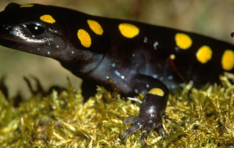 Salamander Species Discovered to be Solar Powered