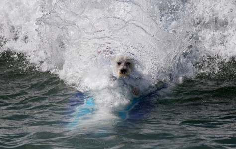 Dogs Hang Ten During Surfing Competition at Huntington Beach