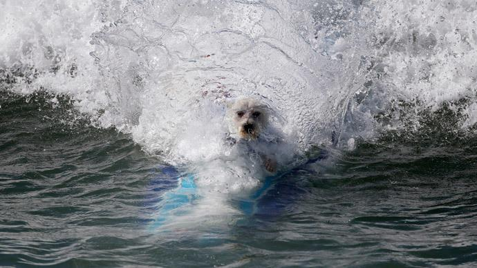 photo+courtesy+of+http%3A%2F%2Frt.com%2Fusa%2F191480-california-dogs-surfing-competition%2F