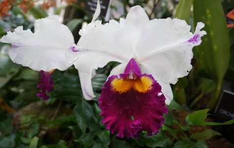 Orchidelirium: A Craze For a Flower