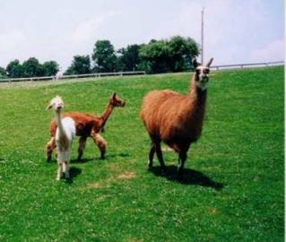 Alpacas and Llamas graze together.