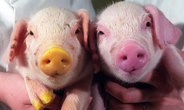 Courtesy of The Guardian. The pig to the left was given jelly fish genes to glow in the dark.