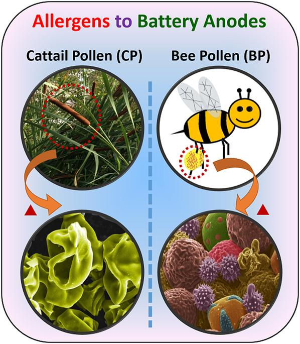 This+photo+illustrates+the+two+pollen+sources+utilized+in+this+study+and+their+correponding+carbon+architecture.+The+cattail+pollens+were+obtained+from+locally+grown+cattail+plants%2C+while+the+bee+pollens+were+initally+collected+from+flowers+by+foraging+bees.