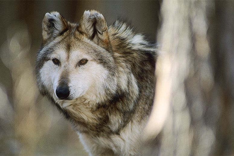 Mexican Wolf Population is Decreasing