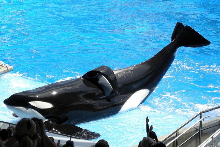 Tilikum the Killer Whale is Dying