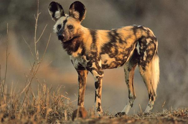 The African Wild Dog is Near Extinction