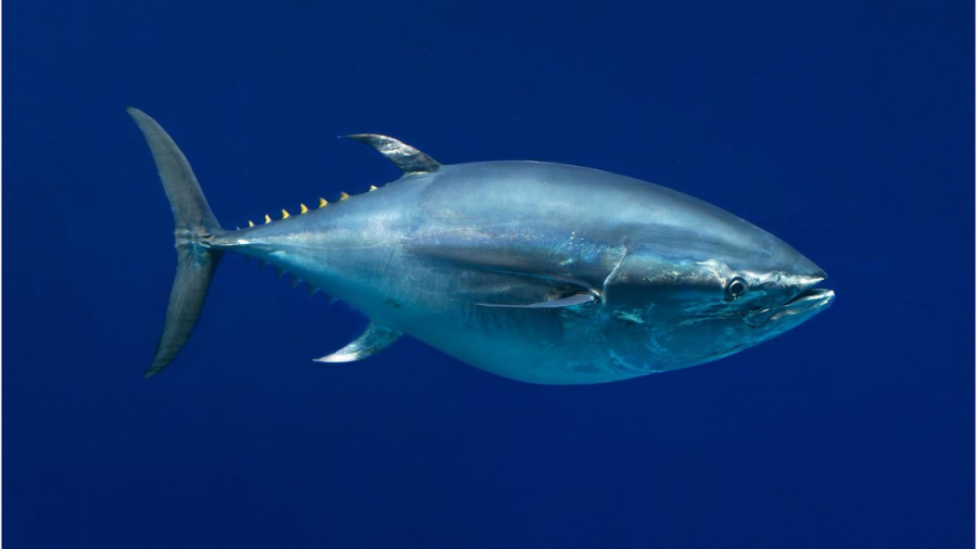 Bluefin+Tuna+is+Nearing+Extinction