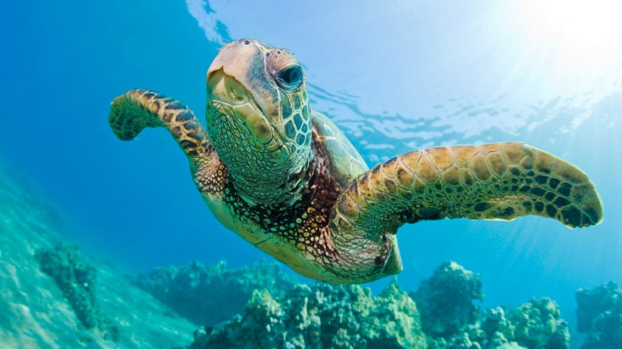 Courtesy ofhttp://kids.nationalgeographic.com/content/dam/kids/photos/animals/Reptiles/A-G/green-sea-turtle-swimming.jpg