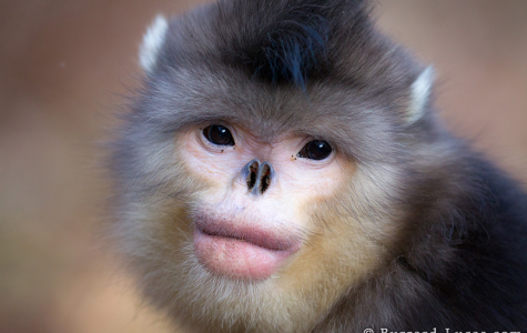 Snub-Nosed Monkey Endangered by Human Appetite
