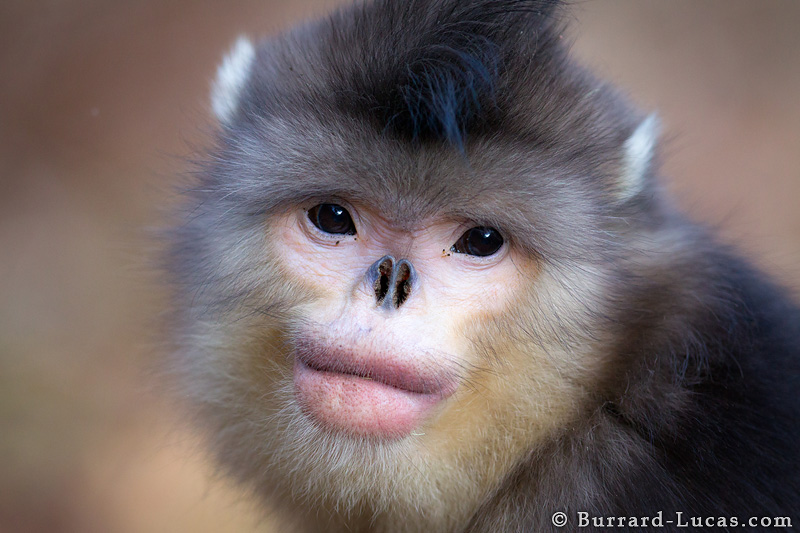 Snub-Nosed+Monkey+Endangered+by+Human+Appetite