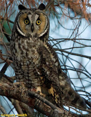 Look Whooos Listening: Long Eared Owls Help Keep Our World in Balance