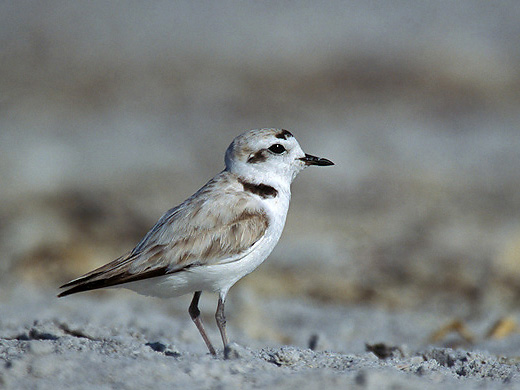 Rare Snowy Plovers Nest On LA Beaches After 68-Year  Absence