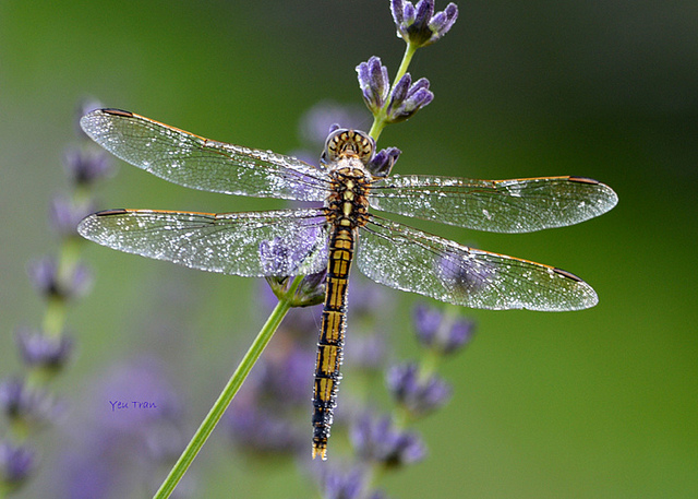 Female+DragonFlies+Fake+Death+To+Get+Away+From+Males