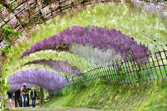 Wisteria Flower Tunnel in Japan Attracts Visitors from Around the ...