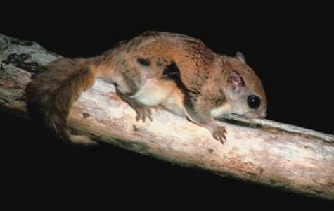Humboldt's Flying Squirrel Declared New Species