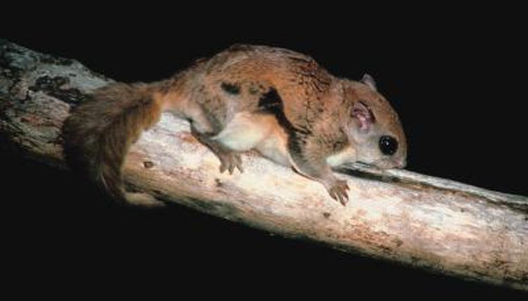 Humboldt%E2%80%99s+Flying+Squirrel+Declared+New+Species