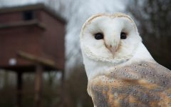 Why Do Barn Owls Never Seem To Lose Their Hearing, Even With Old Age?