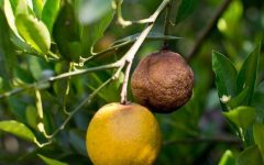 CA State Agricultural Department Places Quarantine on Sale of Citrus Trees