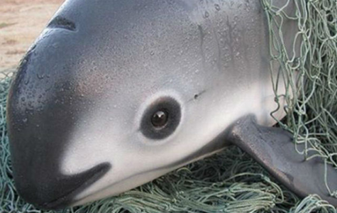 Earth's Smallest Porpoise is Leaning Towards Extinction