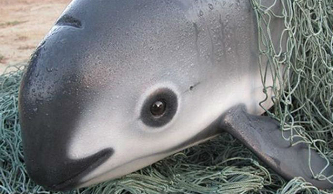 Earth%E2%80%99s+Smallest+Porpoise+is+Leaning+Towards+Extinction