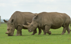 The Last Male Northern White Rhino On Earth Dies