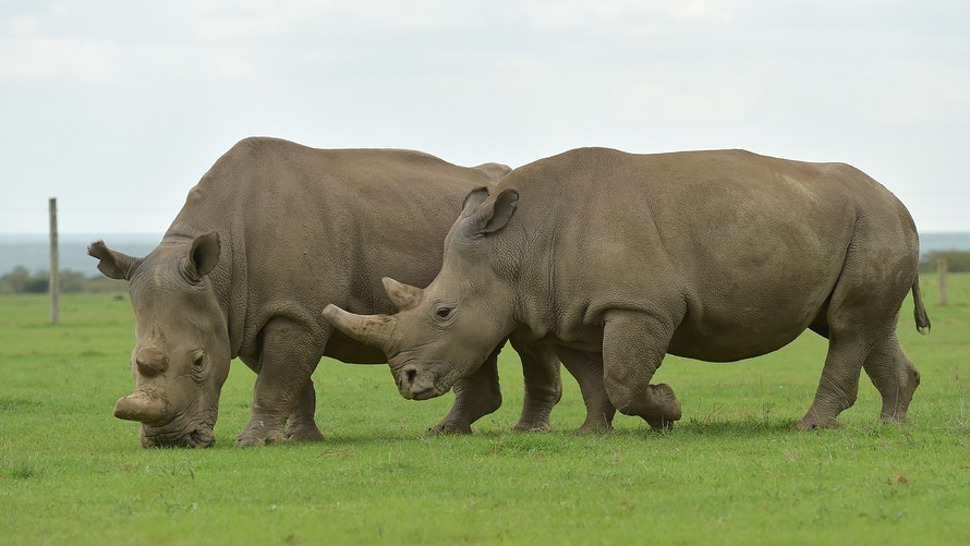 The+Last+Male+Northern+White+Rhino+On+Earth+Dies
