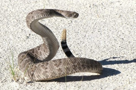 Southern California Rattlesnake Bites on the Rise