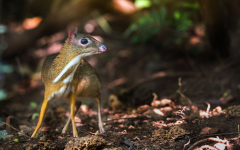 It's a Mouse, It's a Deer, It's a Chevrotain!