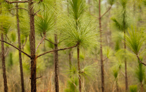 A Look At The Longleaf Pine