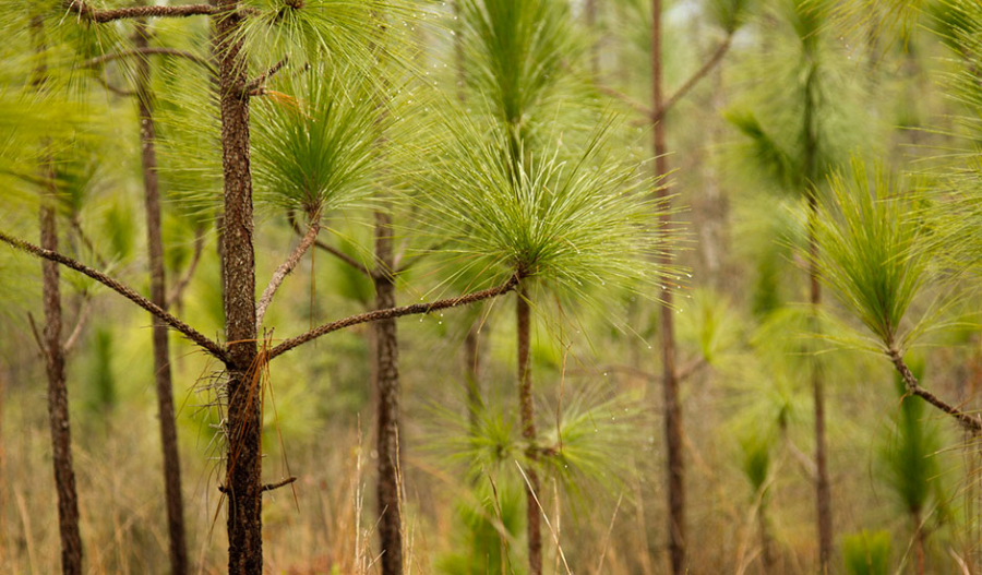 A+Look+At+The+Longleaf+Pine