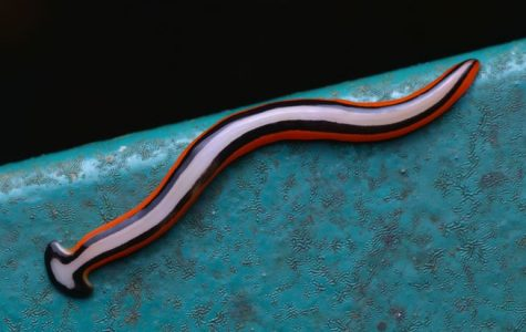 Giant Predatory Worms Invading France