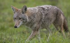 Coyotes: Unprovoked Killers of California or Misunderstood Creatures?