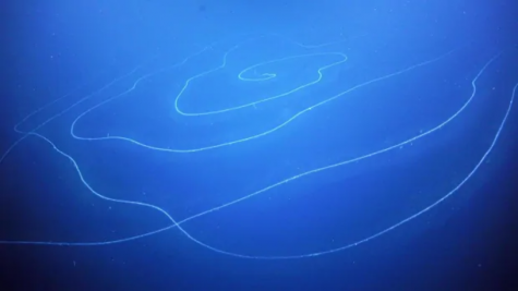 """A Spiraling UFO"" --- World's Longest Animal Recently Discovered in the Australian Waters"