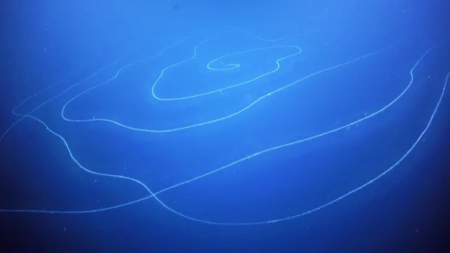 """A Spiraling UFO"" — World's Longest Animal Recently Discovered in the Australian Waters"