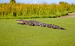 Massive Alligator Spotted Roaming a Golf Course in Florida