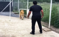 Lioness Sees the Man Who Saved Her Life After 7 Years Apart: Nobody Expected Such Reaction