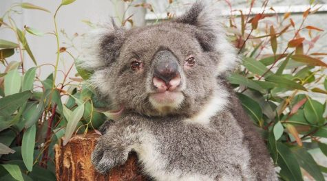 24 Year Old Koala Becomes Oldest in Captivity